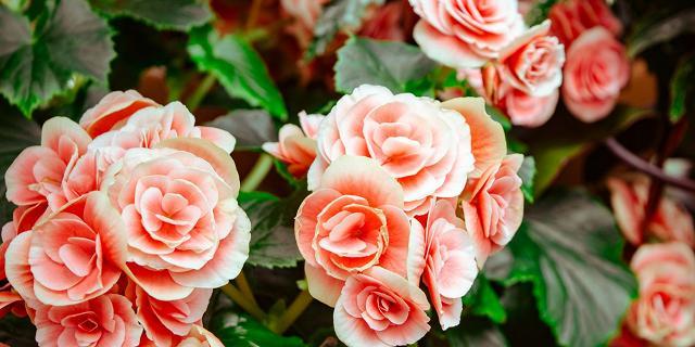 Fiori Che Assomigliano Alle Rose.Di Biciclette Rose Piante E Lettere D Amore Rai Radio 3