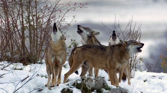 Rai 5 Wild Italy: Lupi - S4E6