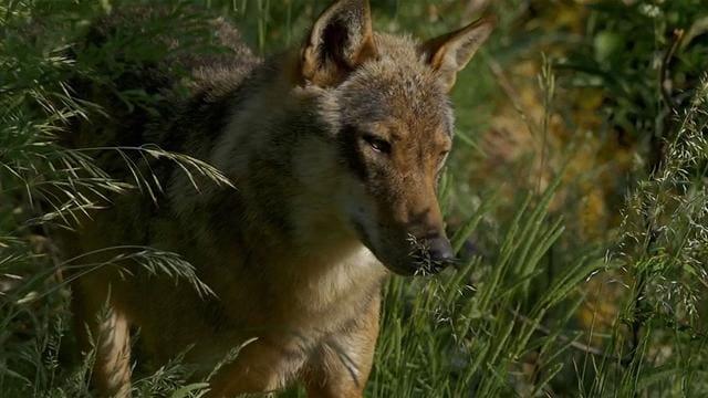 Rai 5 Wild Italy: Il lupo e i suoi comagni - S5E6