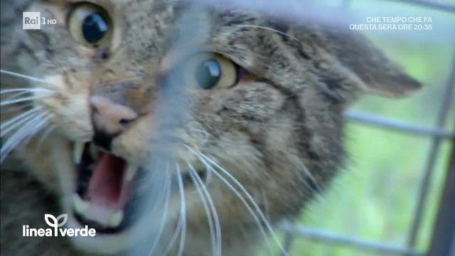 Linea Verde La Liberazione Del Gatto Selvatico 20012018