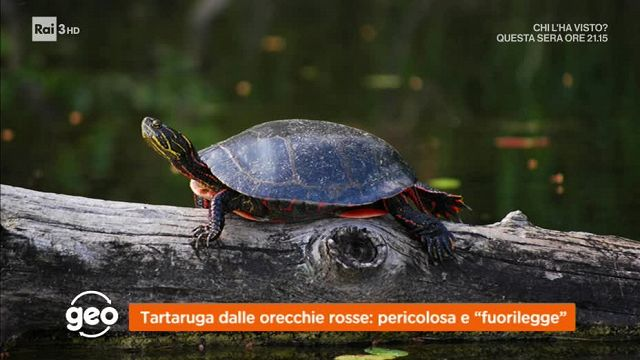Geo tartaruga dalle orecchie rosse pericolosa e for Tartaruga orecchie rosse prezzo